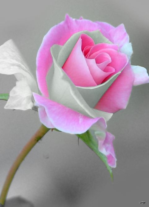 Jolies roses for Green colour rose images