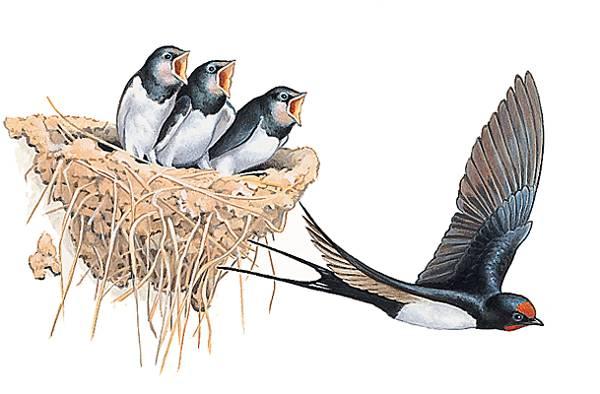Résultat d'images pour gif nid d'hirondelle