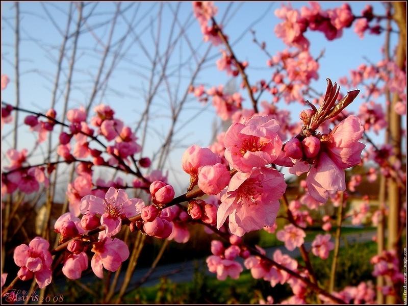 Paysages printemps ete page 59 - Arbre fleur mauve printemps ...