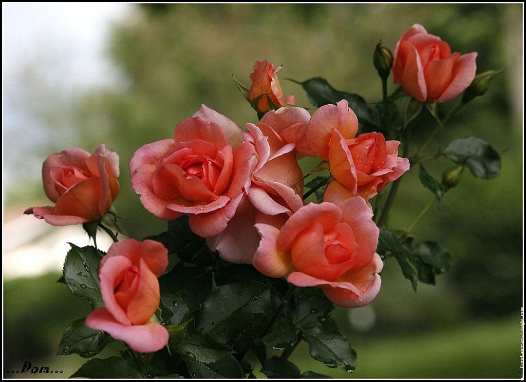 Résultat d'images pour Jolies photos de roses fleurs